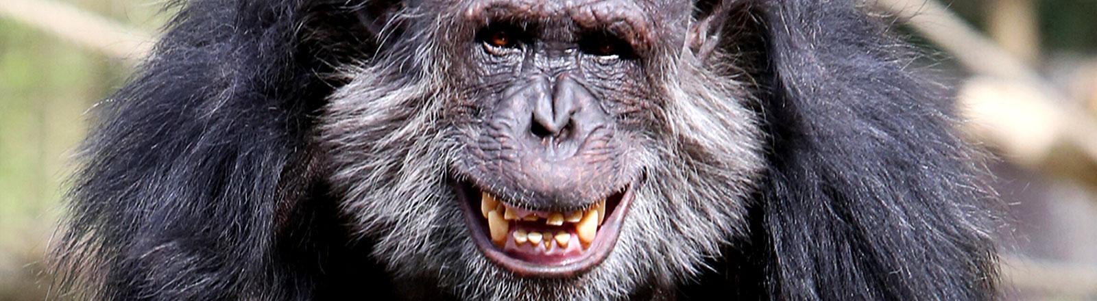 Ein alter Schimpanse zeigt seine Zähne