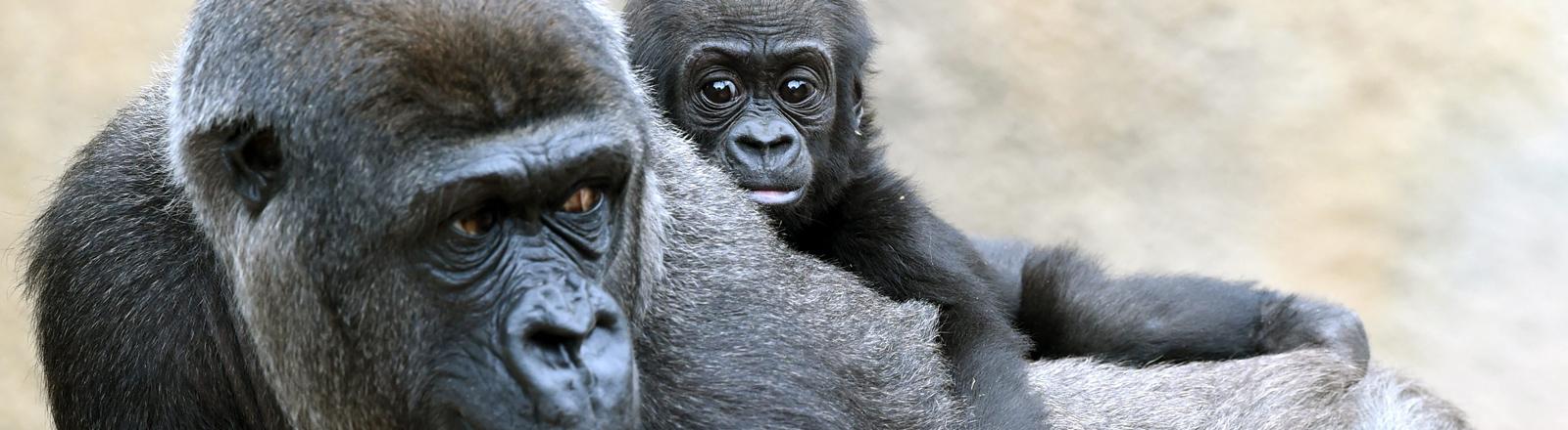 Ein Gorillaweibchen trägt sein Junges auf dem Rücken.