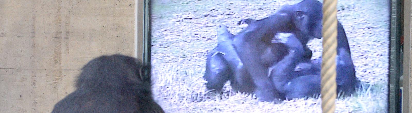 Ein Bonobo-Weibchen schaut in der Stuttgarter Wilhelma einen Affenporno.