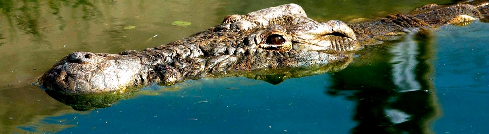 Ein Krokodil namens Osama aus Uganda.