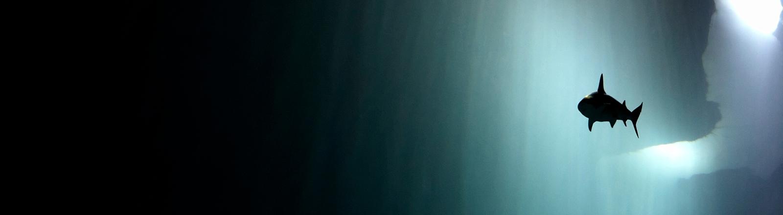 Ein Hai schwimmt im  Ozean.