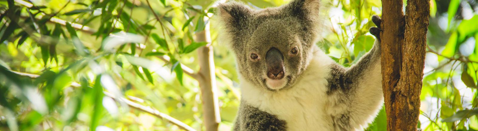 Ein Koala sitzt auf einem Baum.