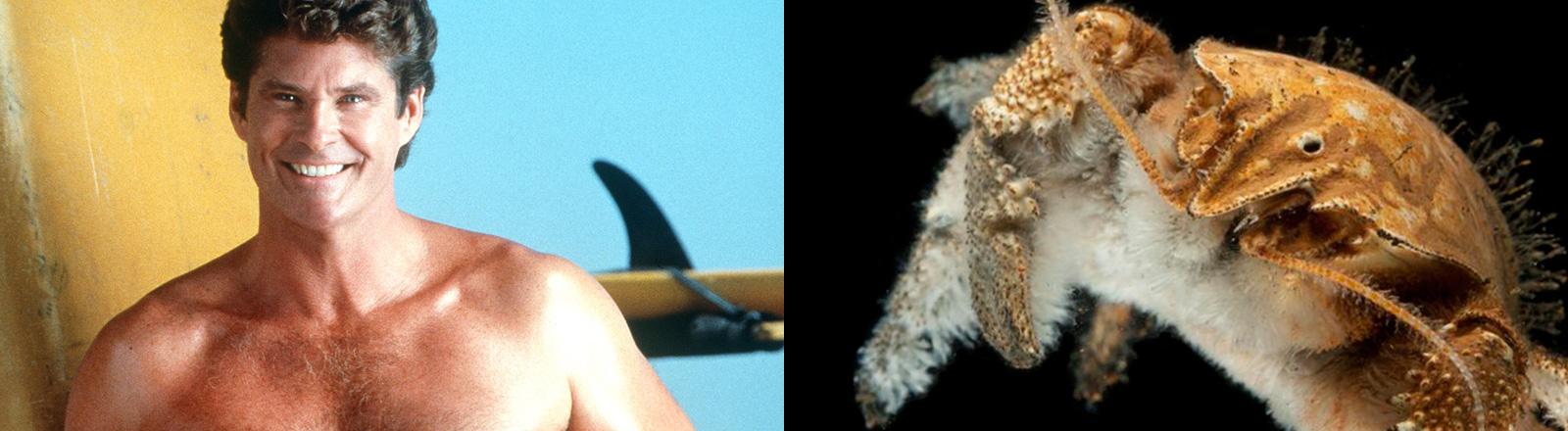 Zwei Fotos. Das eine zeigt David Hasselhoff mit beharrter Brust, das andere die David-Hasselhoff-Krabbe; Foto: dpa | David Shale