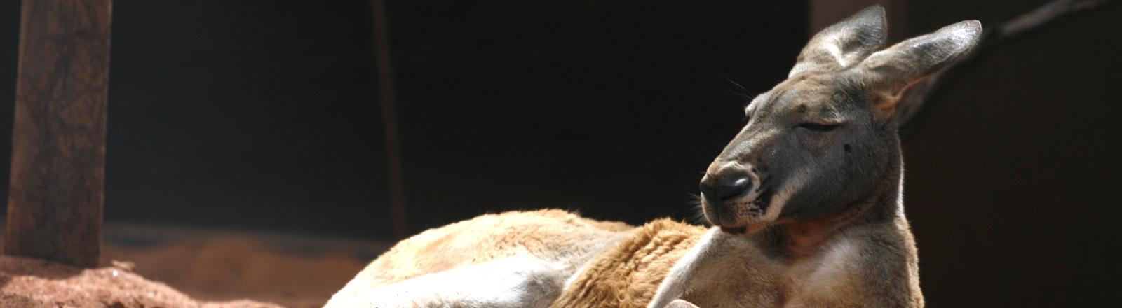Ein Känguru liegt mit geschlossenen Augen im Sand.