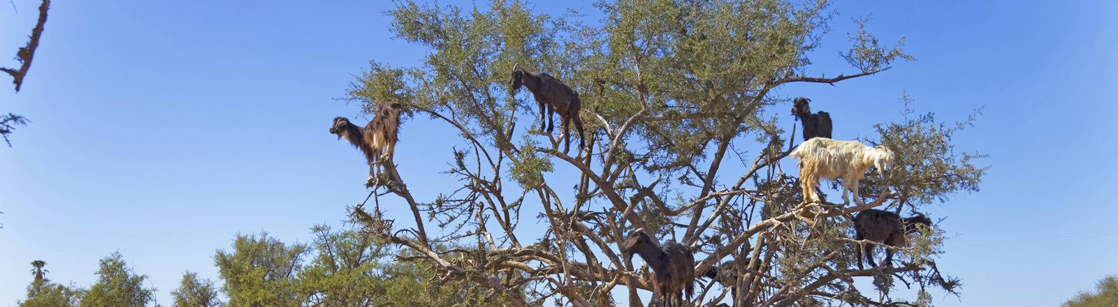 Ziegen klettern auf Arganbaum