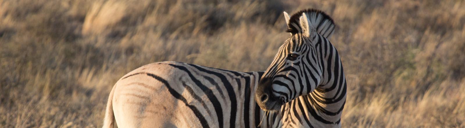 Quagga - ein Zebra mit weniger Streifen.