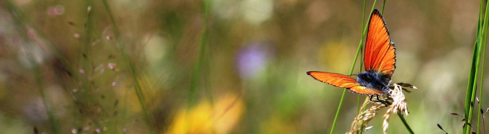 Ein Schmetterling auf einer Blumenwiese