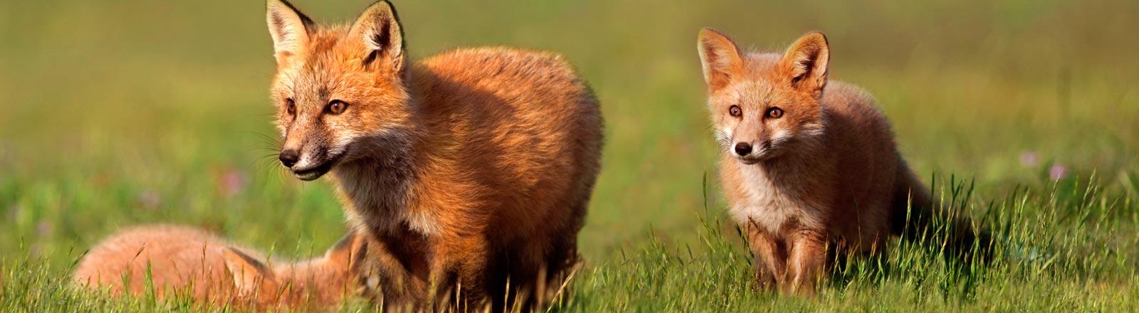 Jung-Füchse spielen auf einer Wiese.