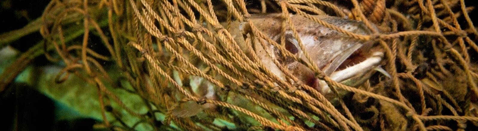 Ein Dorsch hat sich 08.03.2014 in einem Geisternetz am Wrack des Holzfrachters 'Fliegender Holländer' in der Ostsee vor Rügen (Mecklenburg-Vorpommern) verfangen. Jedes Jahr verlieren Fischer Netze in der Ostsee. Als Geisternetze verfangen sie sich an Wracks oder Felsen und verschärfen das Müllproblem.