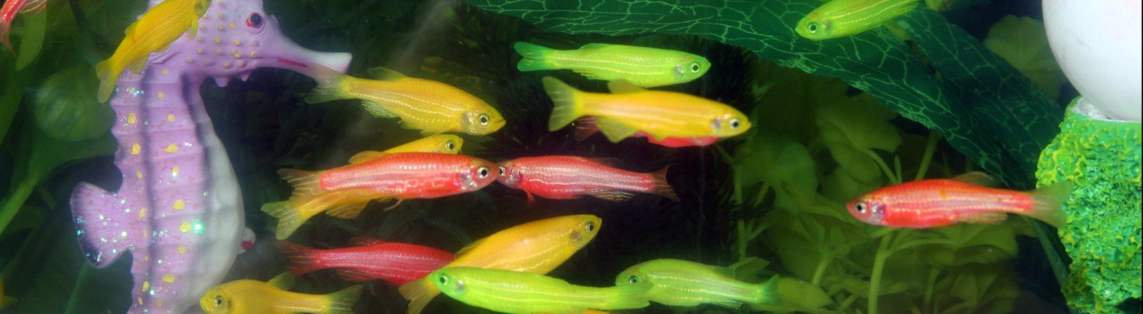 Leuchtfische in einem Aquarium.
