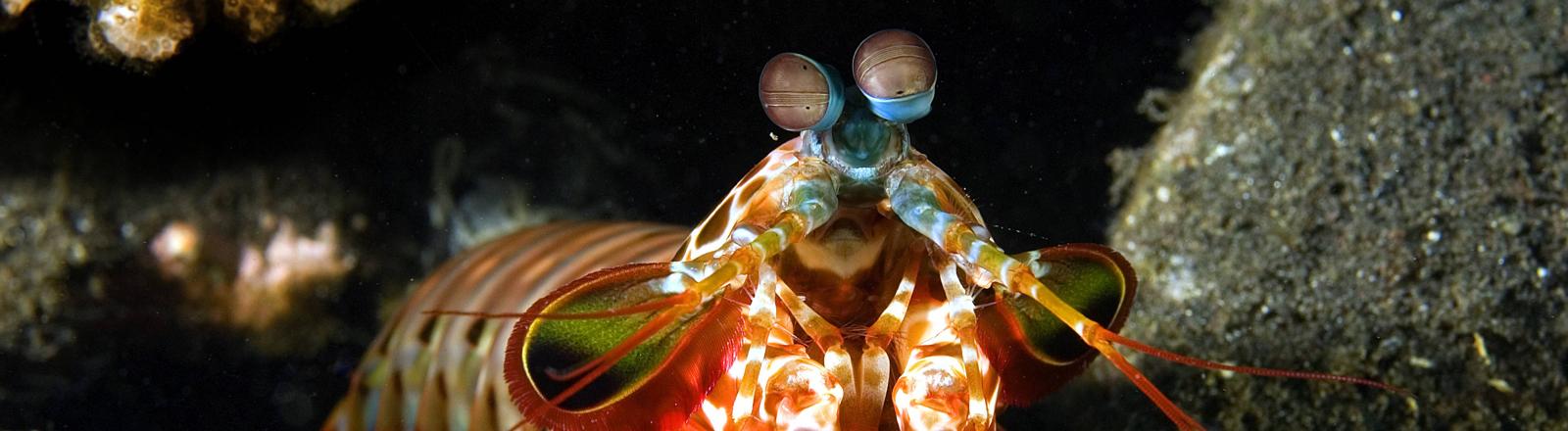Ein bunter Fangschreckenkrebs in Indoniesien.