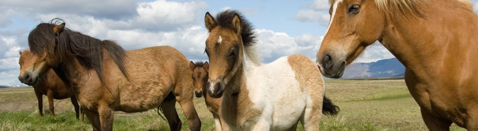 Islandpferde und ein Fohlen auf Island