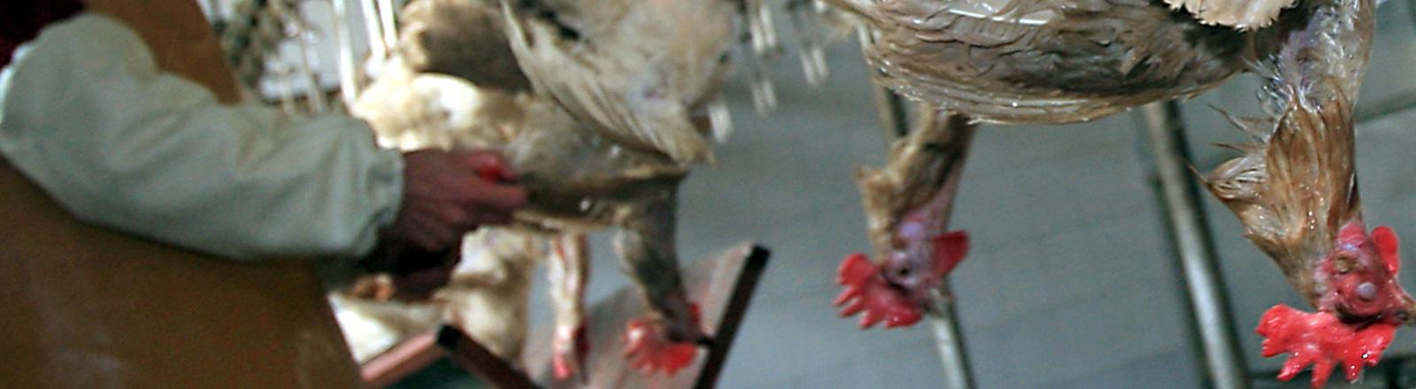 Hühner hängen kopfüber in einem Schlachthof. Links im Bild ist eine Person zu sehen in Kittel; Foto: dpa