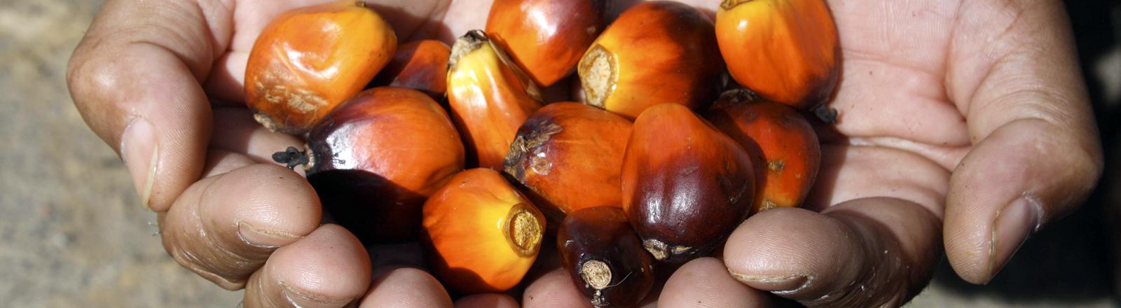 Palmöl-Kerne in der Hand eines Mannes.