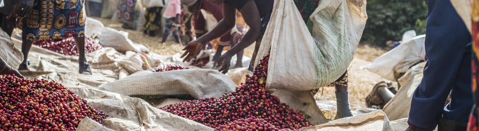 Kaffeebohnenanbau in Zambia.