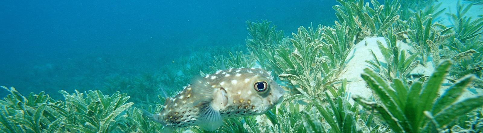 Ein Fisch inmitten von Seegras. Gelbflecken-Igelfisch in Ägypten