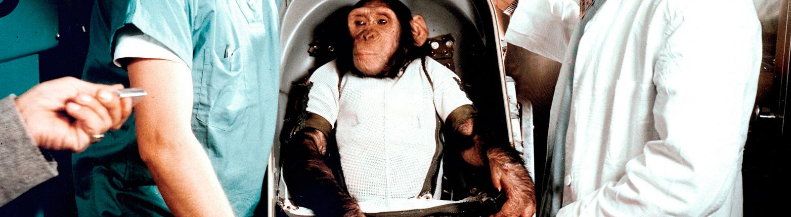 Schimpanse Ham wird 1961 von der Nasa ins All geschickt.
