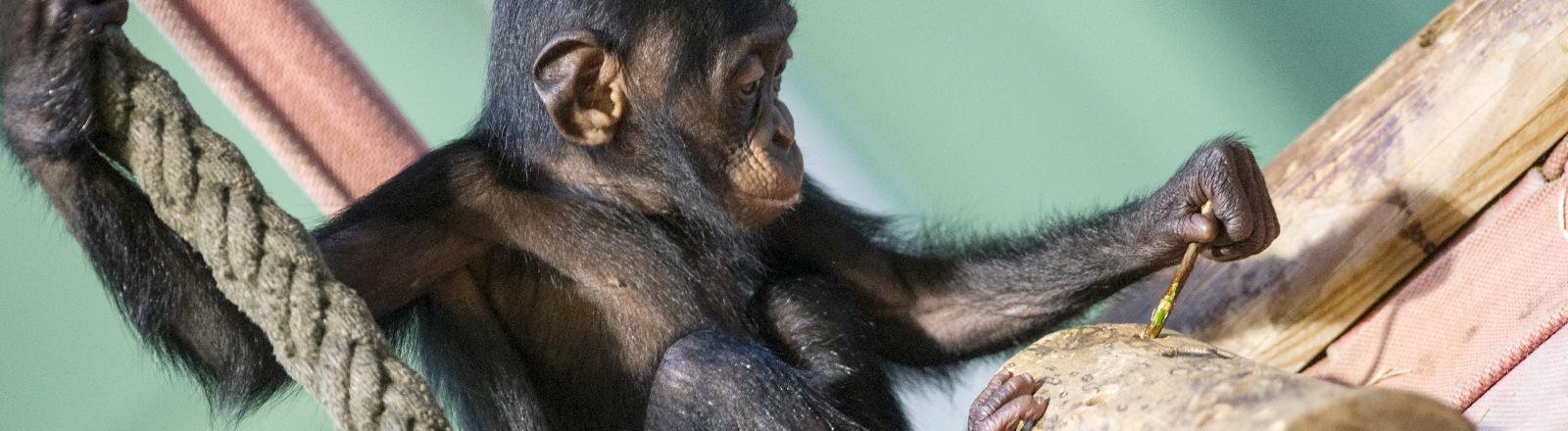Schimpanse im Zoo.