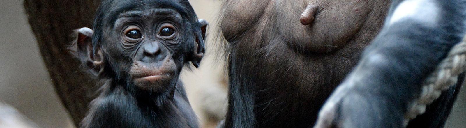 Ein Bonobobaby bei seiner Mutter.