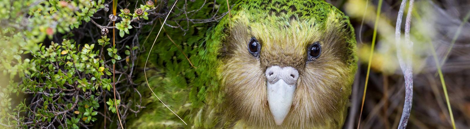 Neuseeländische flugunfähige Papageienart Kakapo.