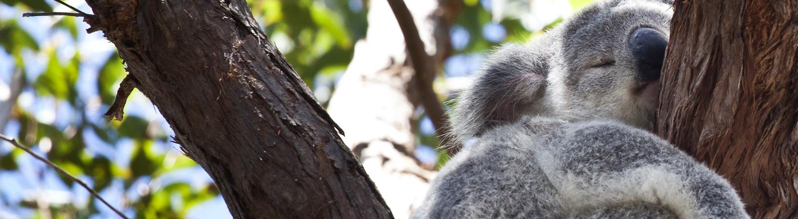 Ein Koalabär, der in einem Baum schläft.