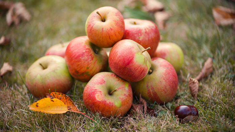 Äpfel auf dem Boden auf einer Wiese im Herbst.