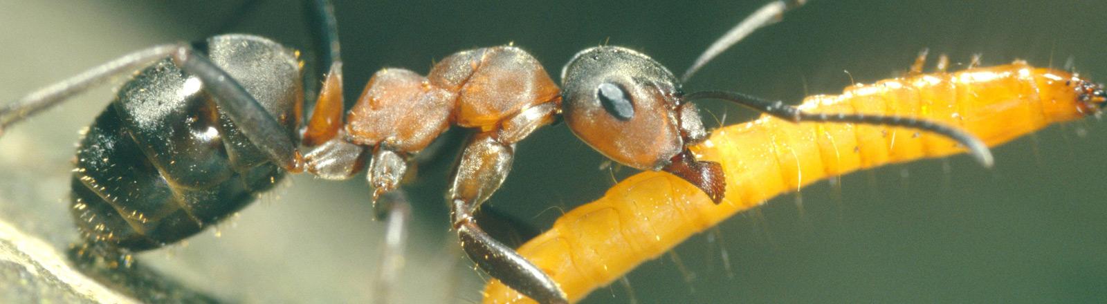 Eine Ameise trägt eine Larve aus ihrem Stamm.