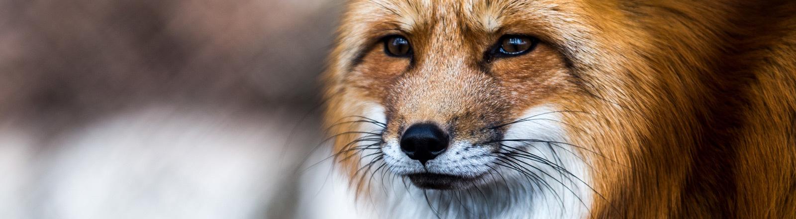 Ein Fuchs.