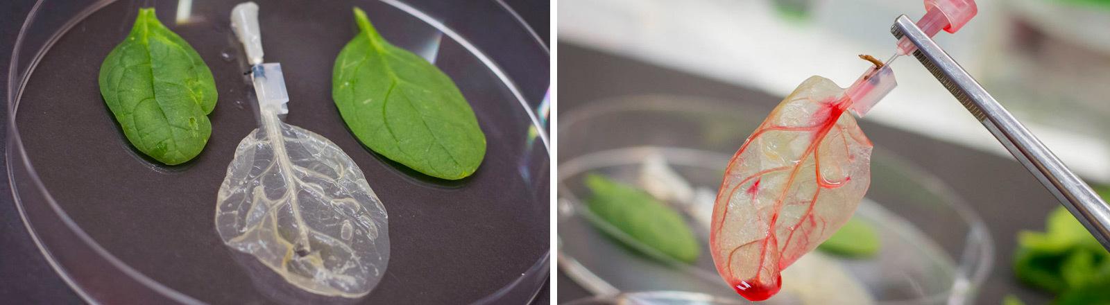Spinatblätter, die zum Nachzüchten von Herzmuskellzellen genutzt we