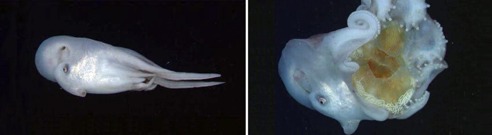 Ein Tiefsee-Oktopus