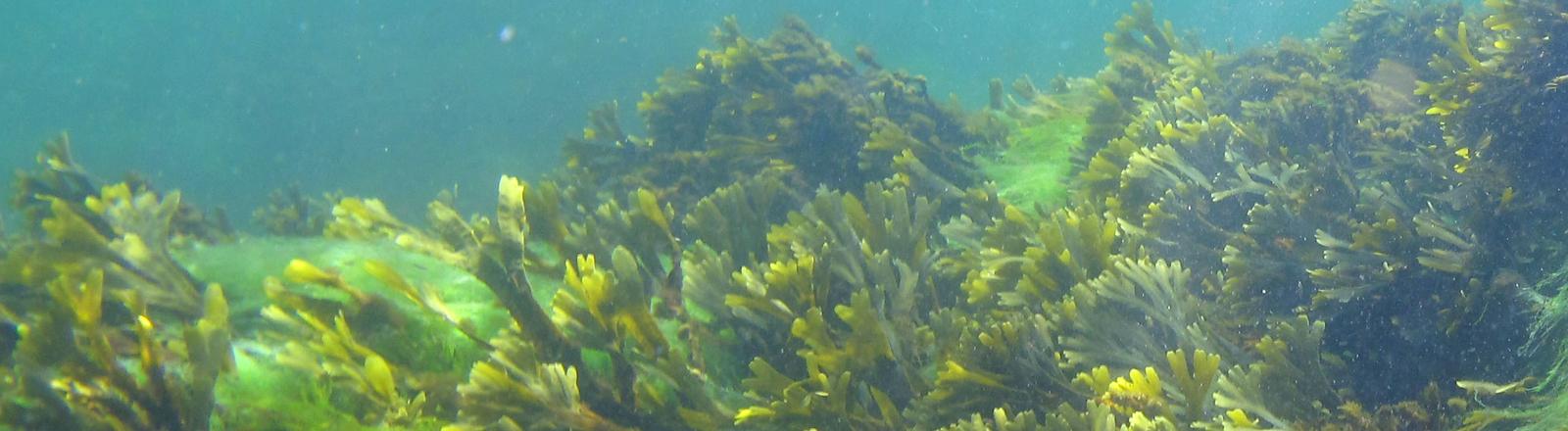 Unterwasseraufnahme von Pflanzen in der Ostsee unweit des Fischerortes Helligpeder auf der dänischen Insel Bornholm, aufgenommen am 11.08.2009.