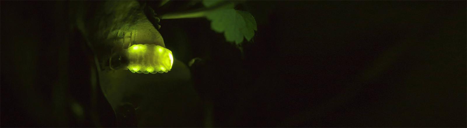 Ein Glühwürmchen bzw. Leuchtkäfer