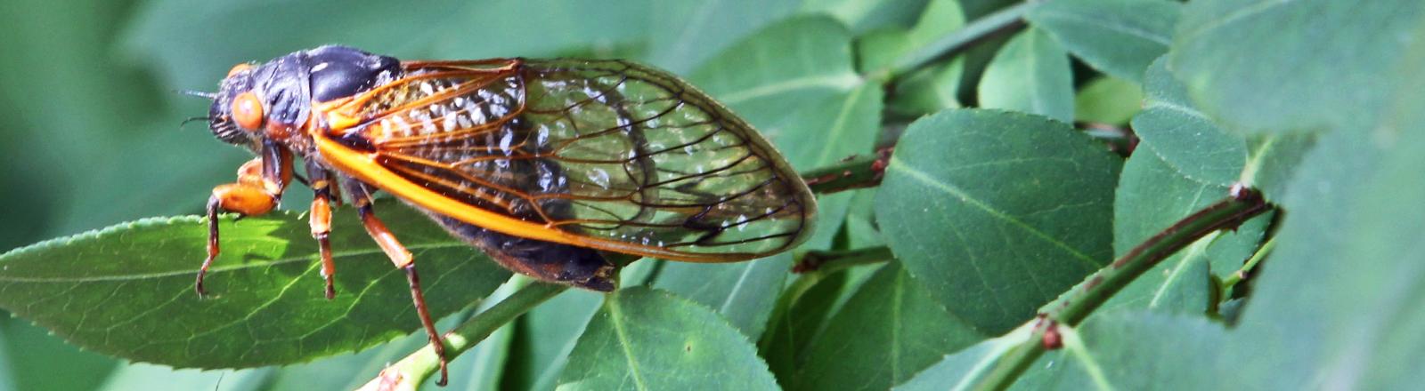Zikaden auf einem Blatt Milliarden Zikaden übersäen derzeit Teile des US-Nordostens. Alle 17 Jahre erwachen sie zum Leben und werden zur Plage.