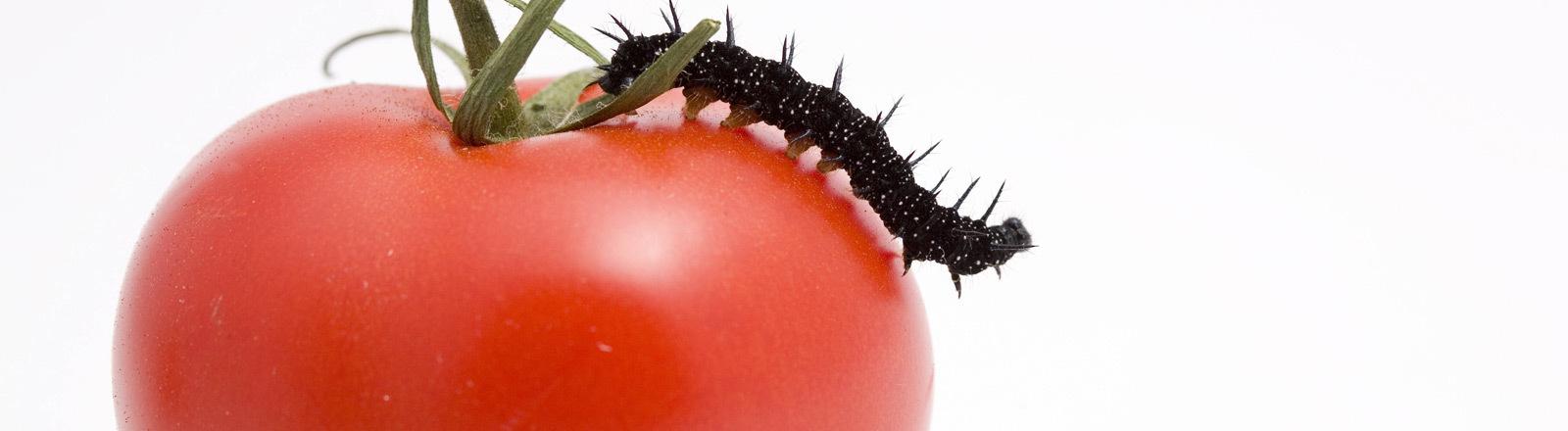 Eine Raupe befindet sich auf einer Tomate.
