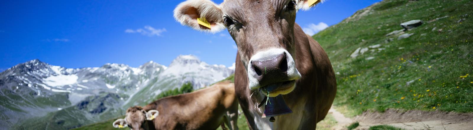 Zwei Kühe. Symbolbild für Superkühe - WDR-Projekt.
