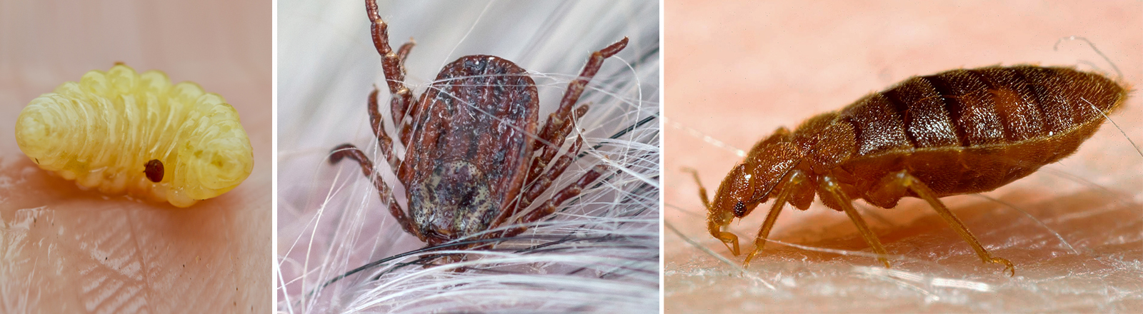 Parasiten: Zecke, Varroamilbe, Bettwanze