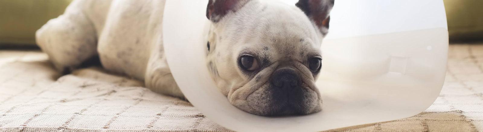 kranke Französische Bulldogge