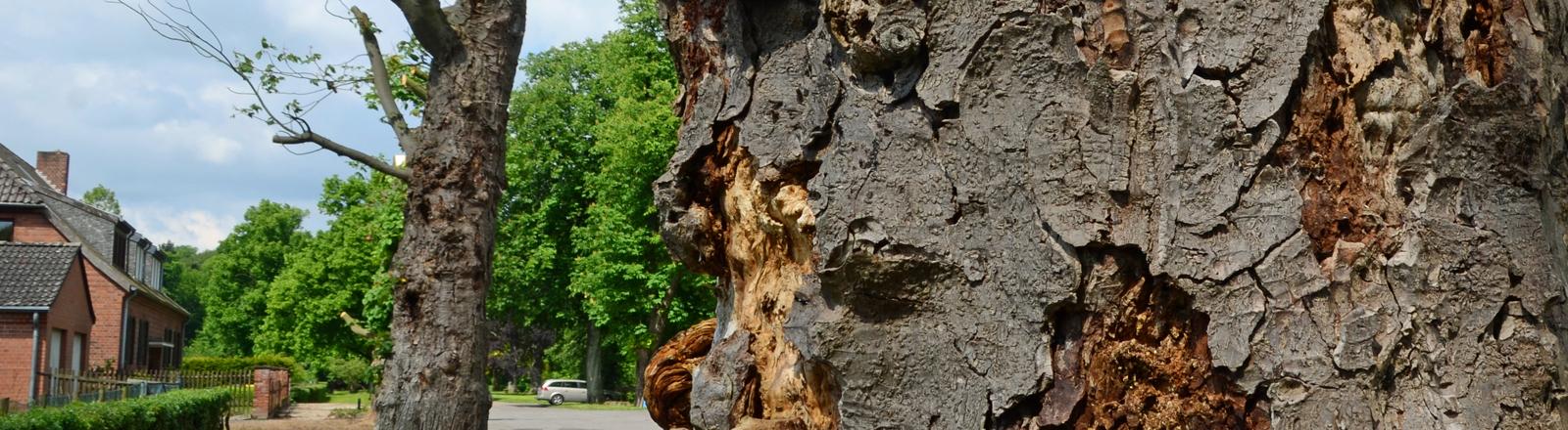 dpa: Kranker Kastanienbaum am Straßenrand.
