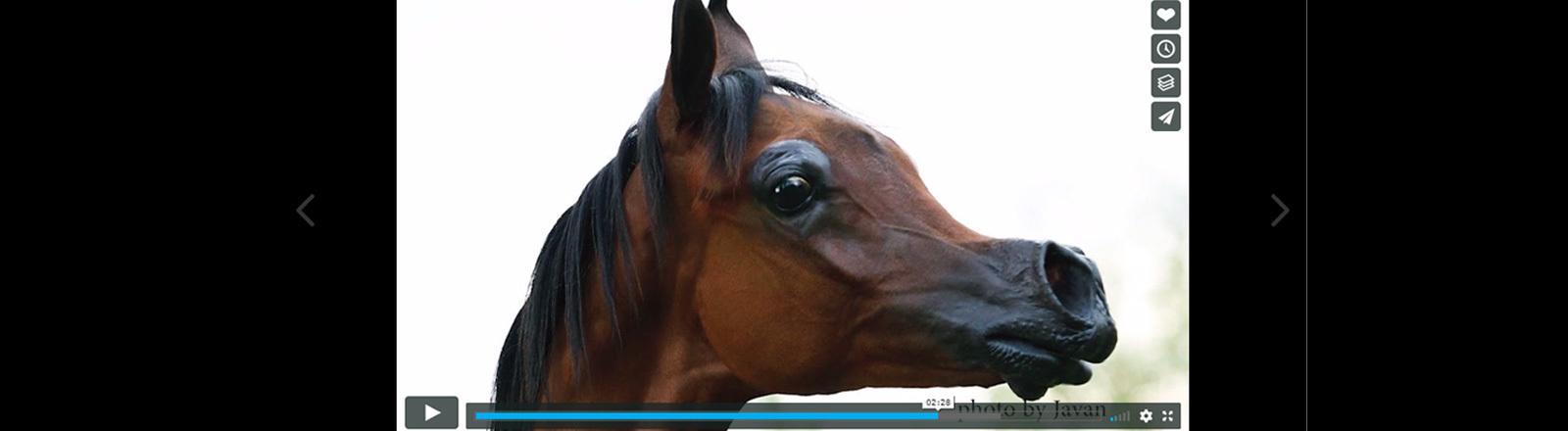 Screenshot des Araberfohlens El Ray Magnum der Firma Orrion Farms.