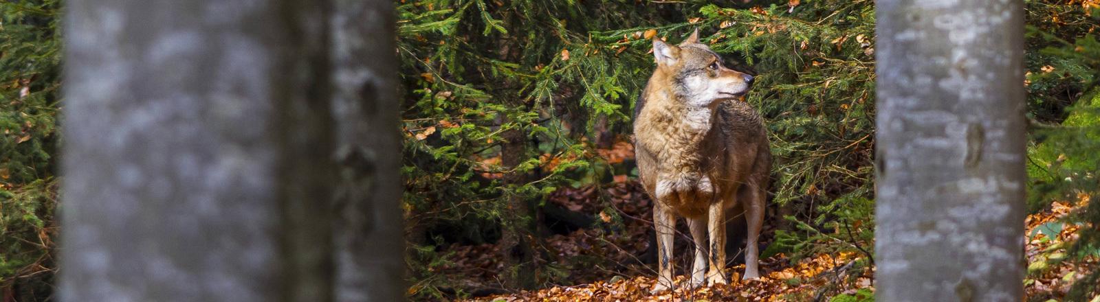 Ein Wolf im Wald. Herbst.