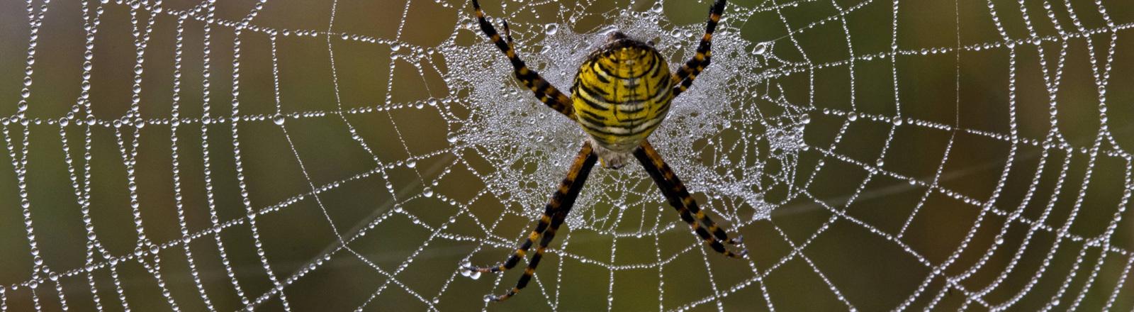 Eine Radnetzspinne