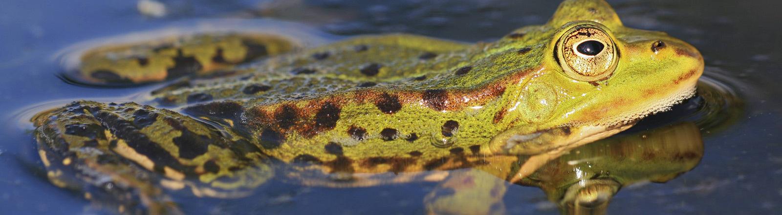 Frosch im Wasser.