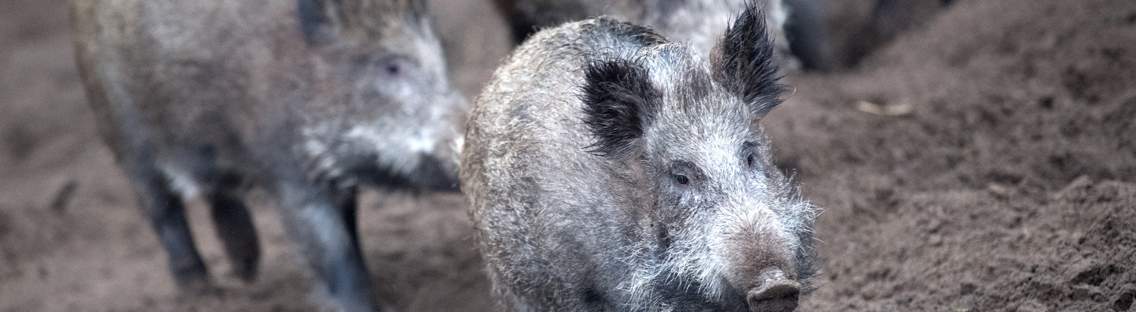 Afrikanische Schweinepest. Es sollen tausendfach Wildschweine abgeschossen werden.