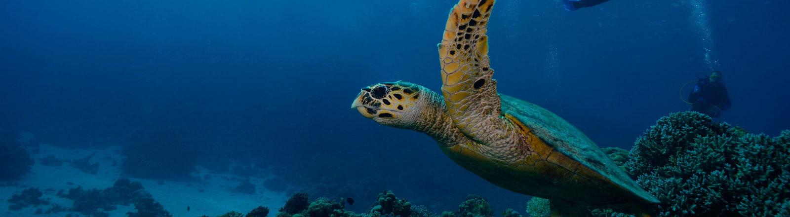 Meeresschildkröte und Taucher