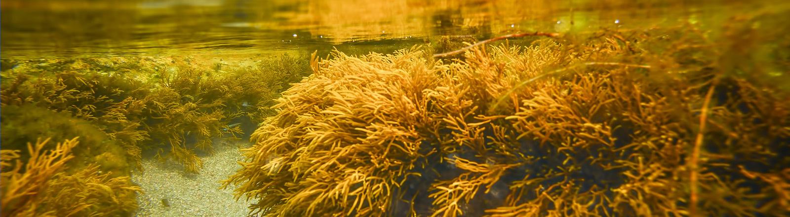 Algen unter Wasser.