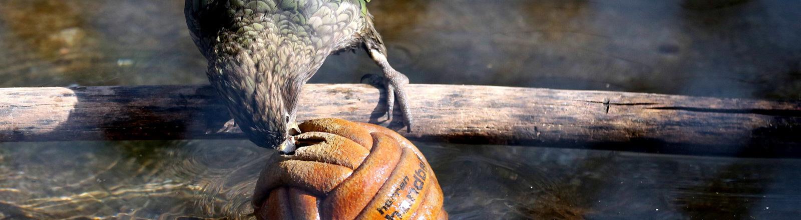 Ein Papageienvogel der Art Kea, der in Neuseeland vorkommt.