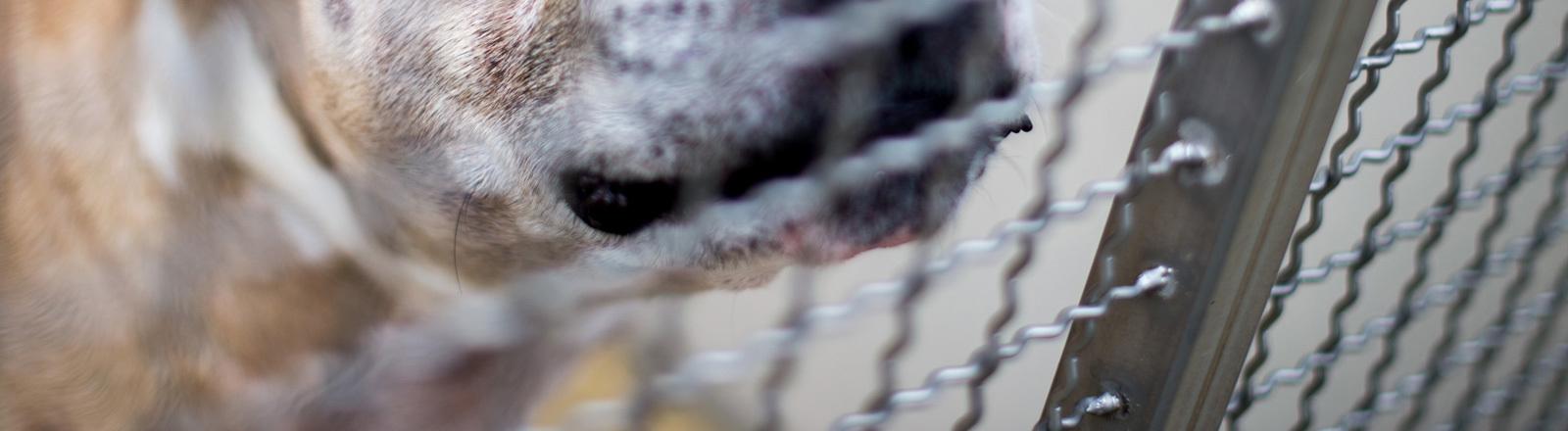 Der Staffordshire-Terrier-Mischling «Chico» steht in einem Gehege im Tierheim Hannover. Der Hund soll seine 27 und 52 Jahre alten Besitzer in ihrer Wohnung in einem Mehrfamilienhaus getötet haben.