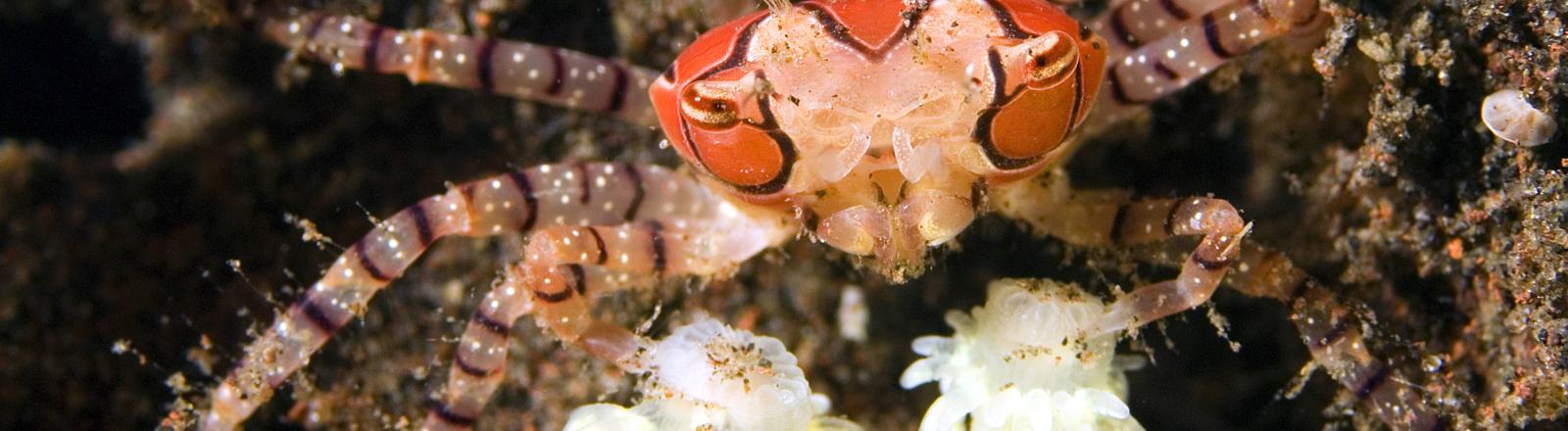 Boxerkrabbe verteidigt sich mit Anemonen an den Scheren.
