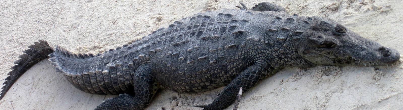 Ein Alligator an einem Sandstrand.