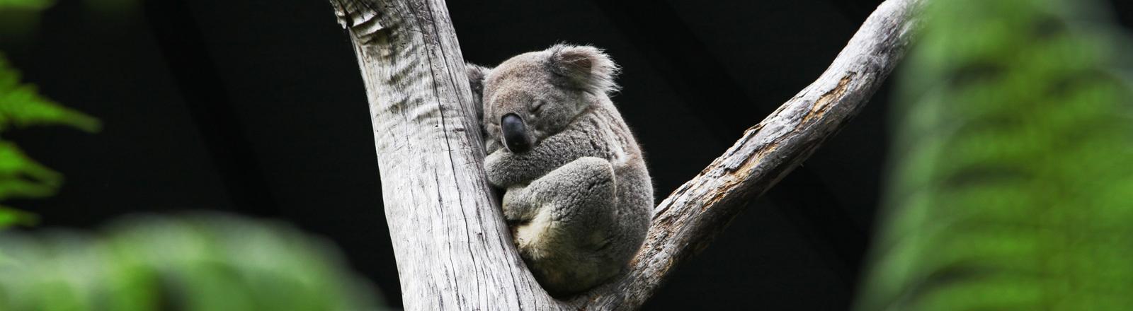 Ein Koala schläft in einem Baum im Zoo in Sydney.